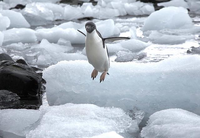 چرا پنگوئن پرواز نمی کند ؟